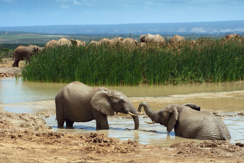 Elephants in Addo Elephant Park Port Elizabeth